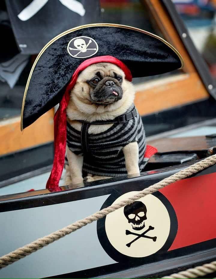 Puddin the Pirate Pug